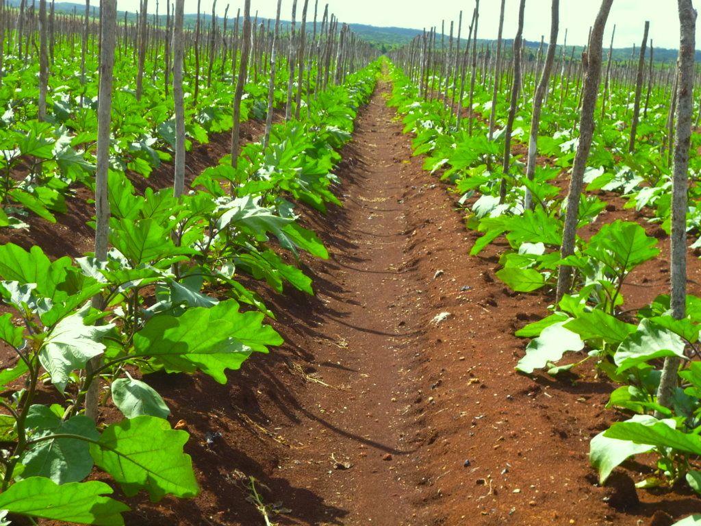 Секреты выращивания и ухода баклажанов в открытом грунте