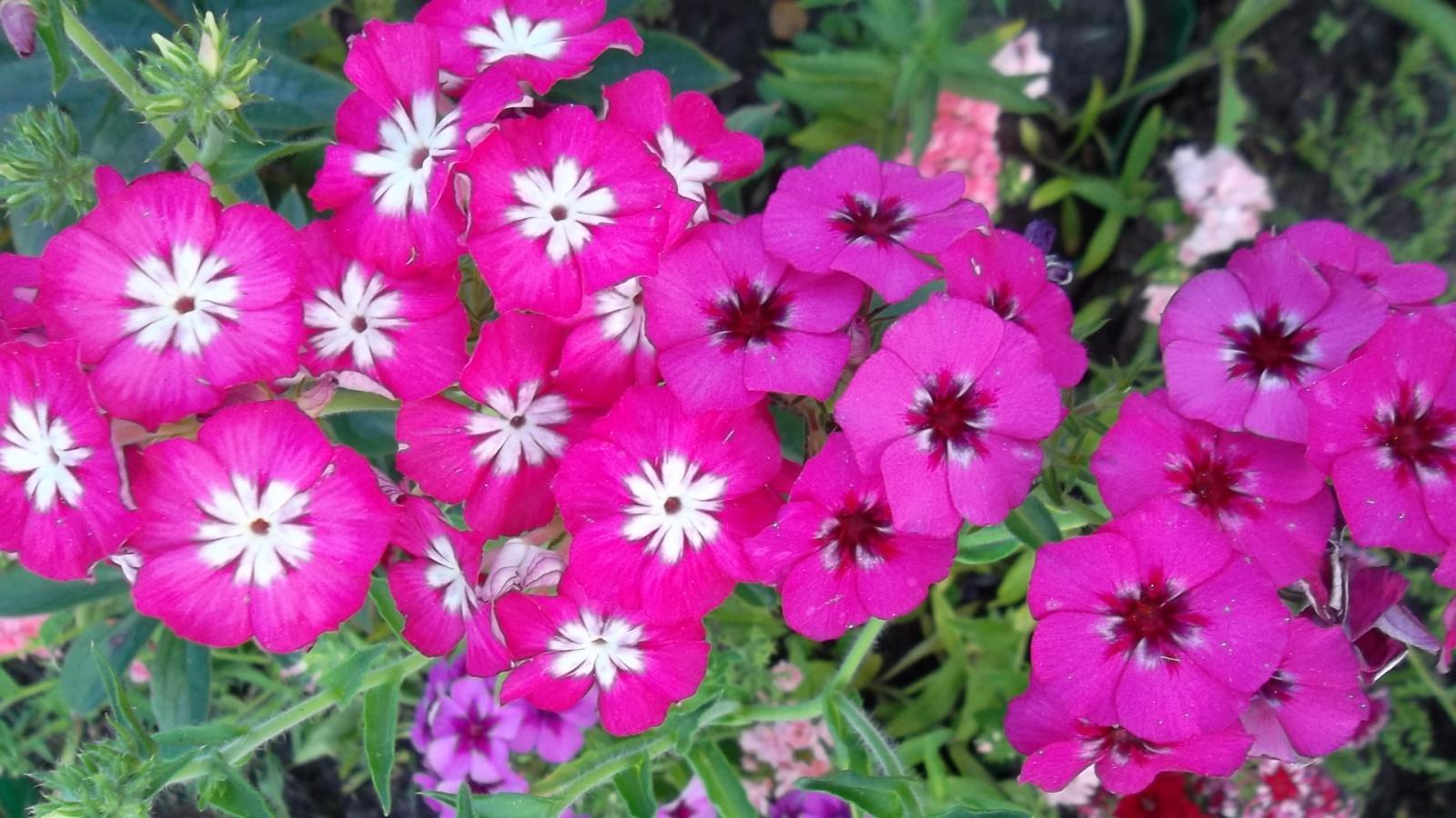 поговорим флокс друммонда период цветения в северных термобелье: Некоторые