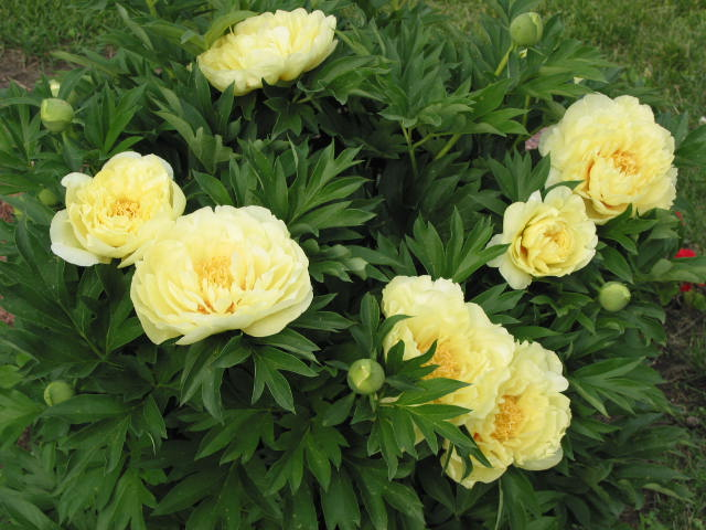 Купить многолетние цветы пионы цветы в иркутске с доставкой visa
