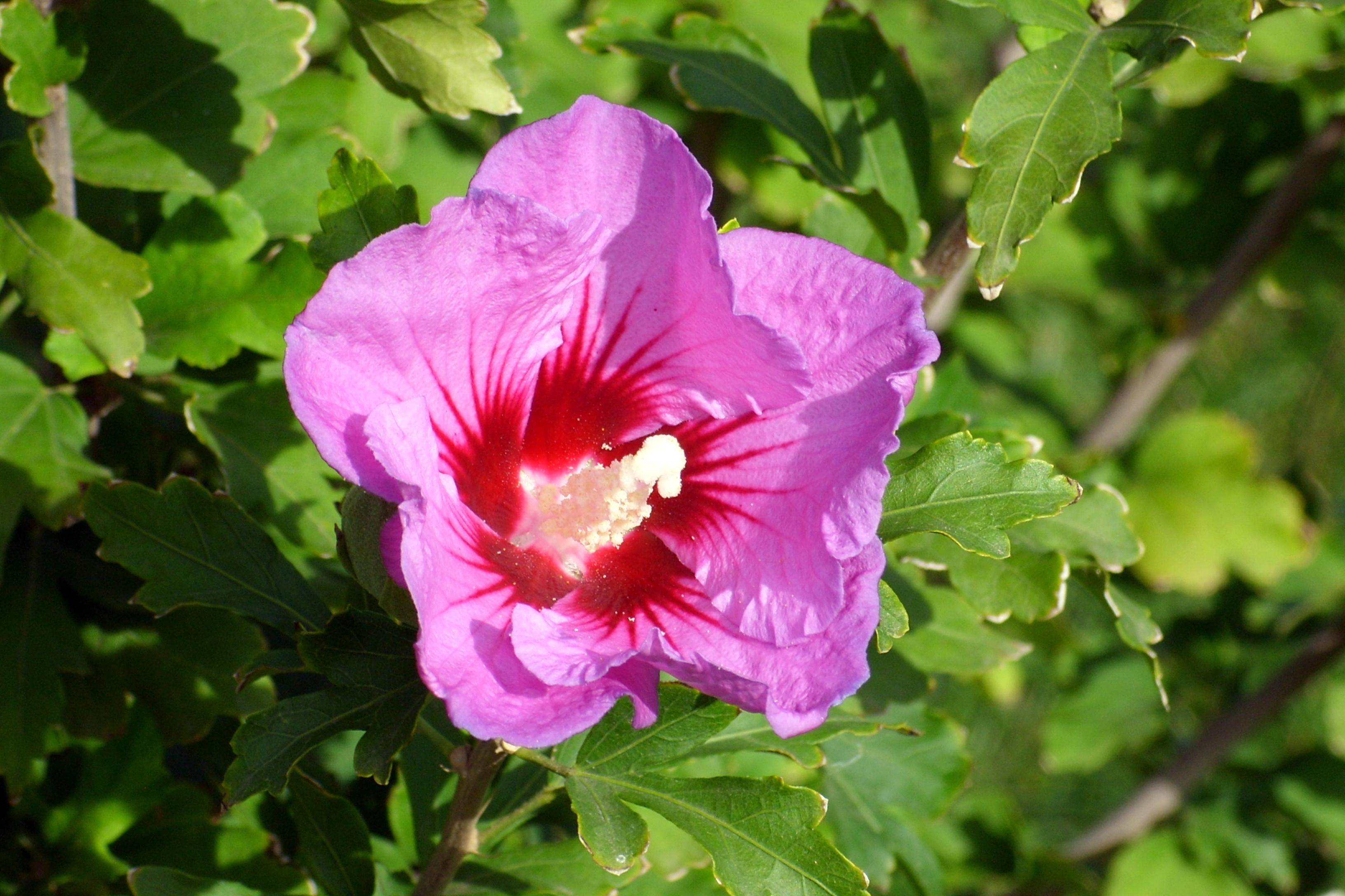 Мальва — посадка и уход за декоративными цветами (фото сортов Зебрина и Розовая)