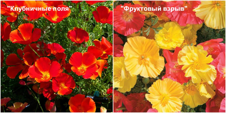 Цветок эшшольция как сажать