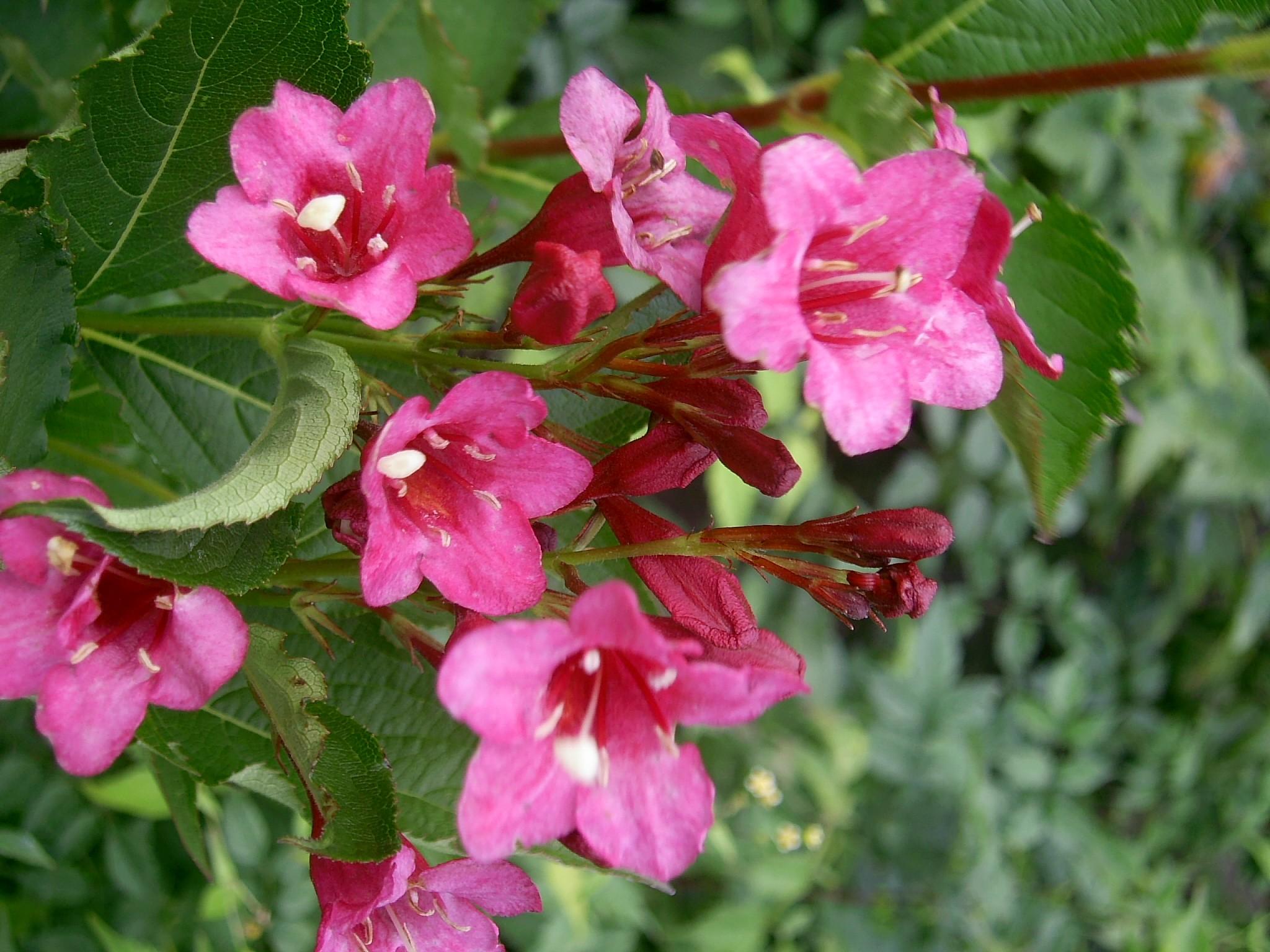Вейгела выращивание 24