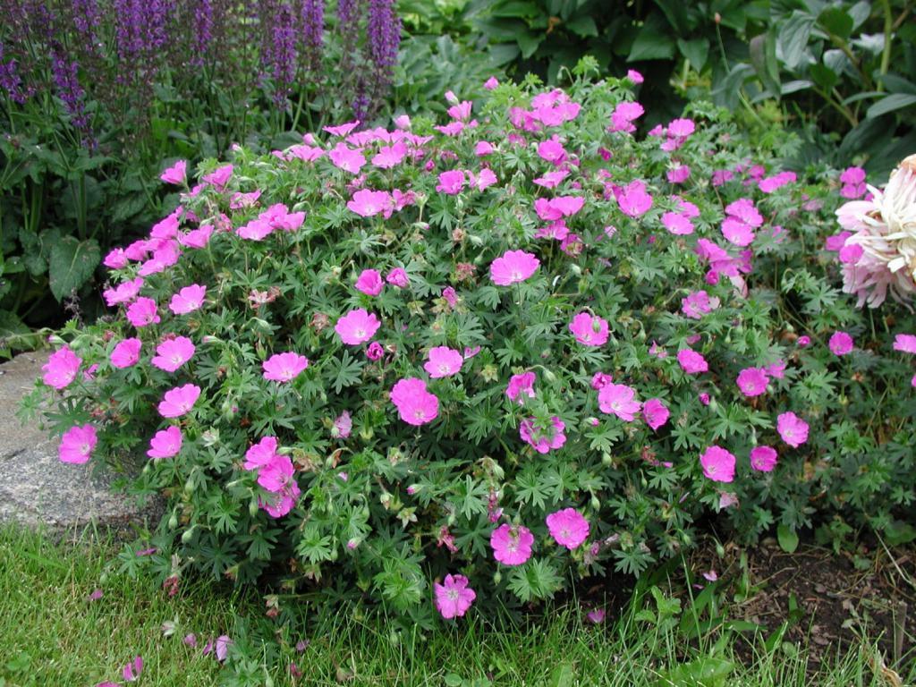 Садовая герань цветы