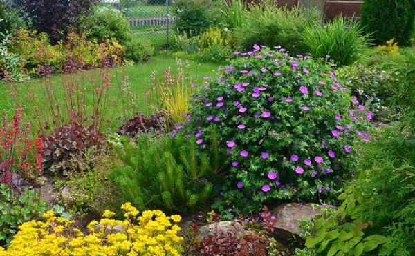 Герань садовая многолетняя сорта выращивание уход 64