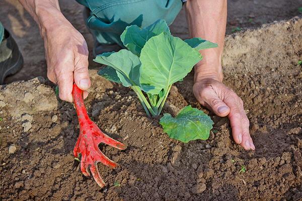 Фото выращивание капусты 91
