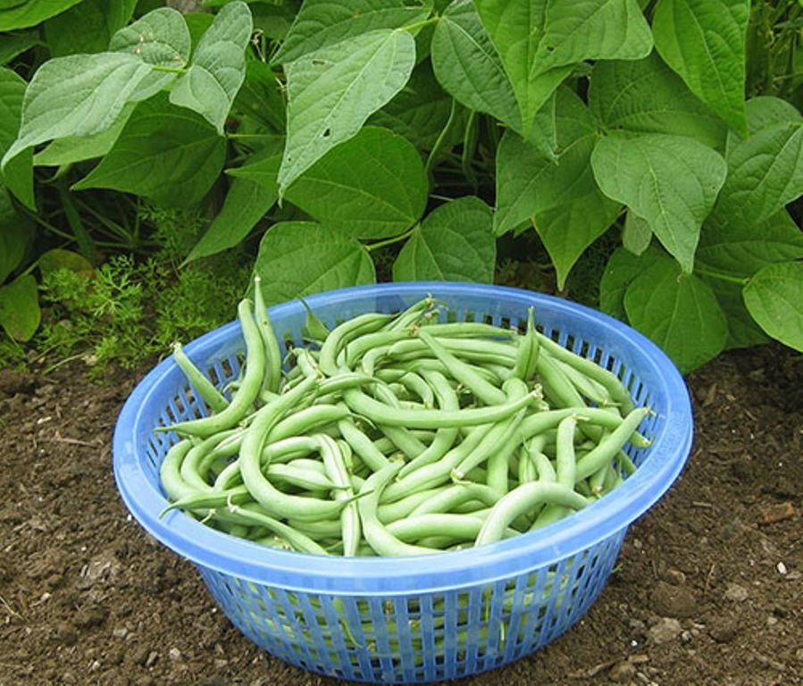 Зелёная фасоль выращивание и уход 91