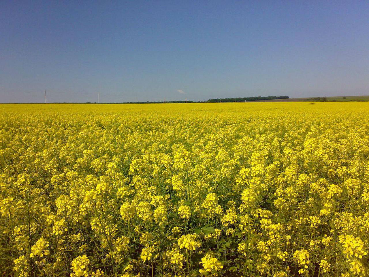 White mustard - siderat. White mustard as a fertilizer 83