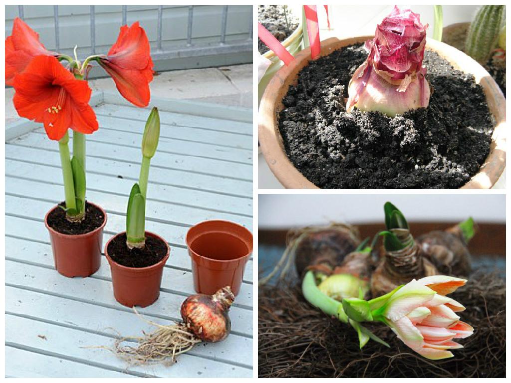Гиппеаструм выращивание из семян домашних условиях 85