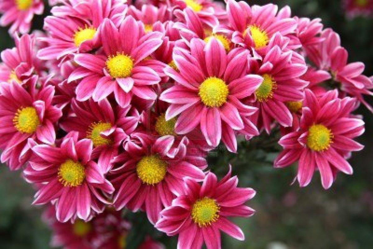 оптимист хризантема