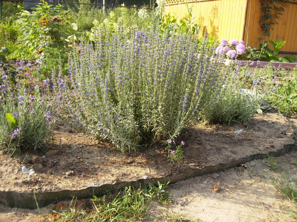 Как сажать куст лаванды