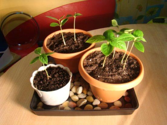 Нектарин из косточки в домашних условиях выращивание 274