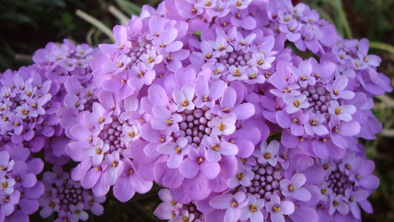 Иберис цветы выращивание 46