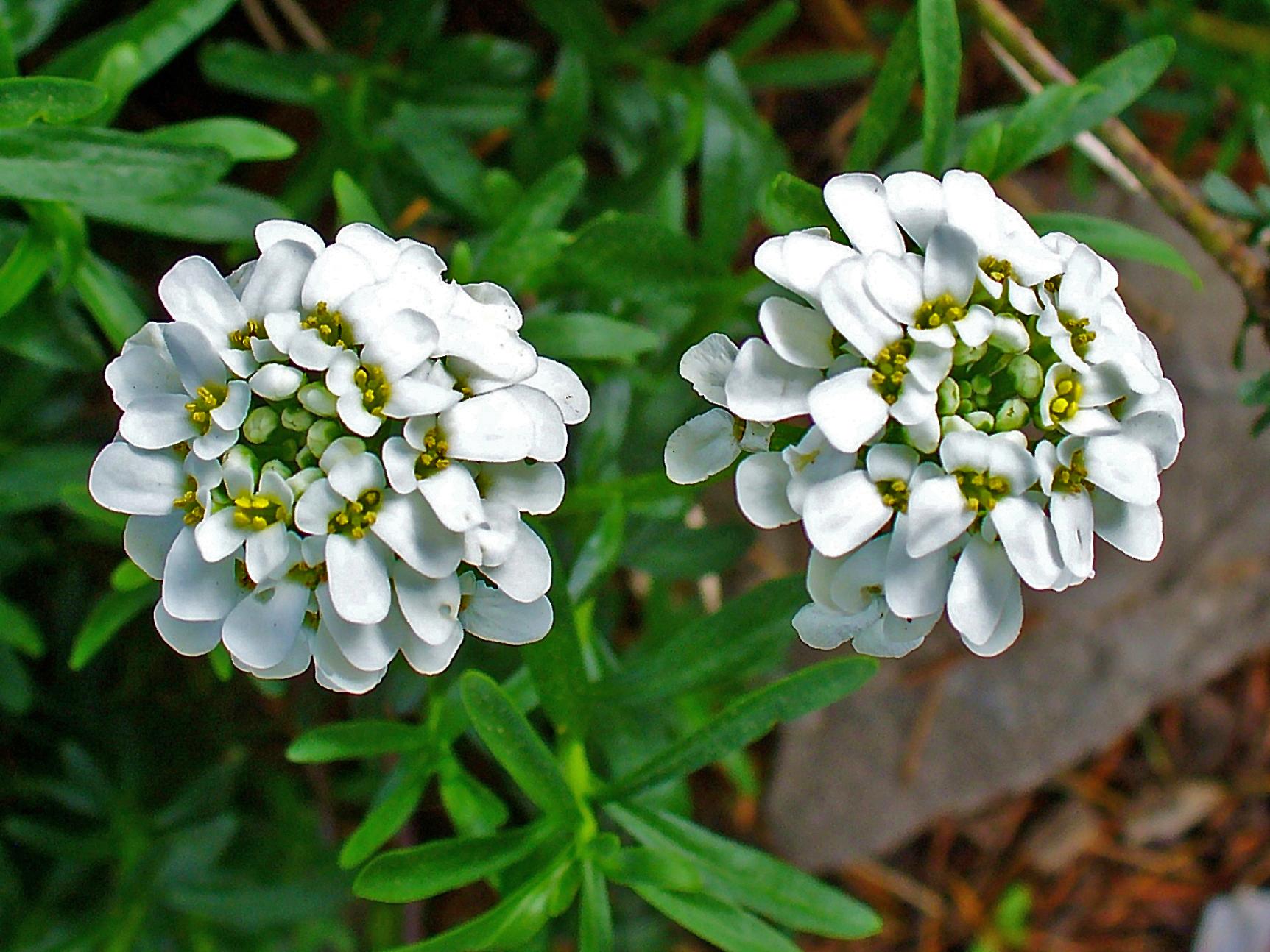 Иберис цветы выращивание 18