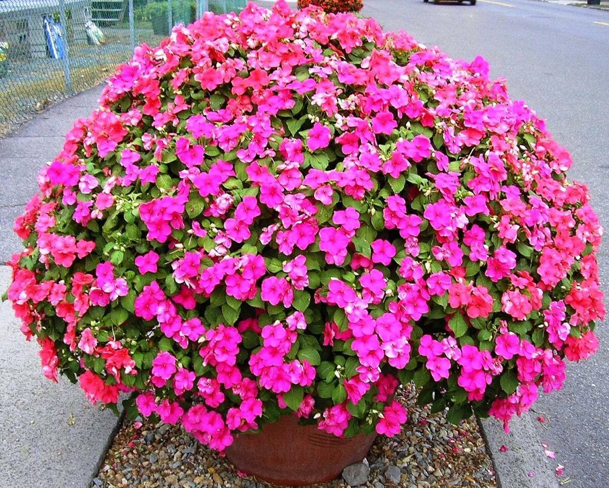 Бальзамин том тамб фото цветов