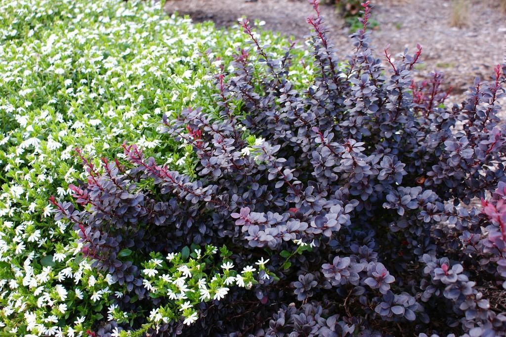 Выращивание барбариса в саду фото 96