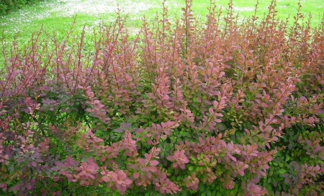 Как сажать цветок барбарис 64