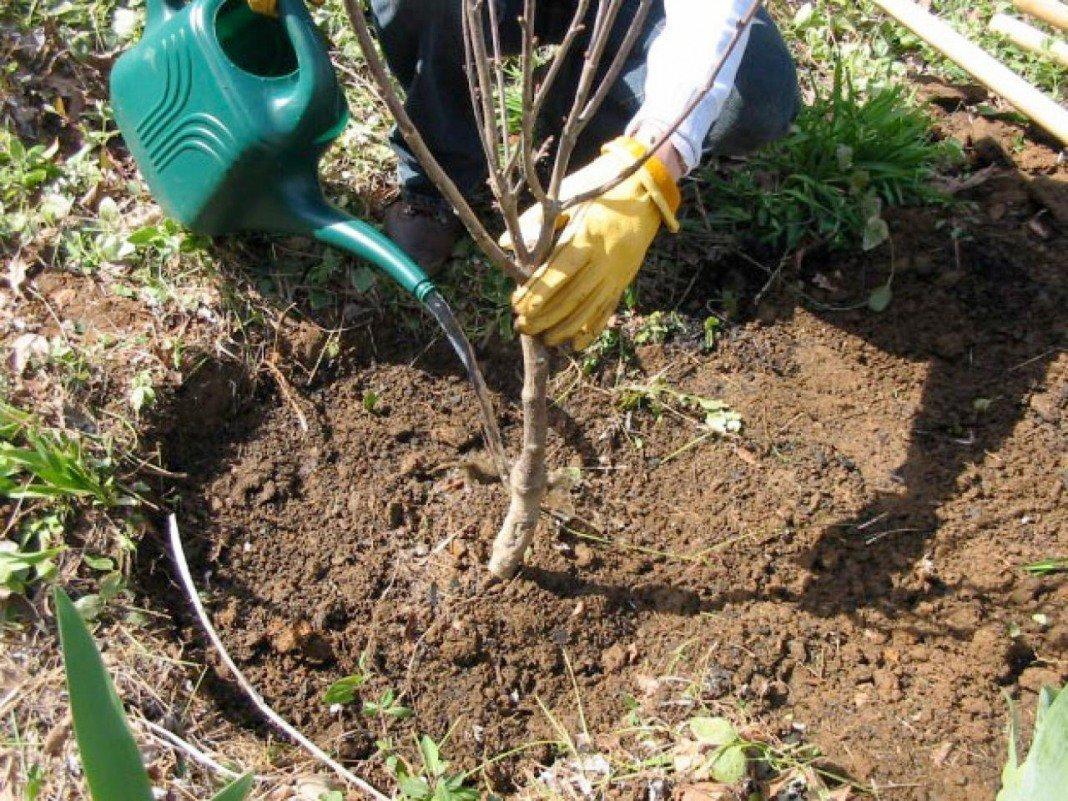 Можно ли осенью сажать саженцы деревьев 44