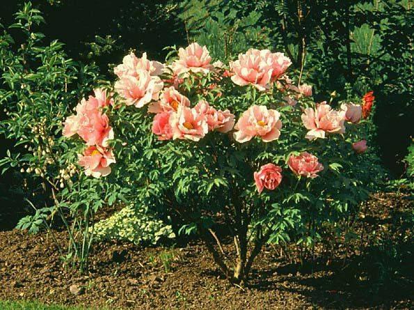 Пион древовидный цветов