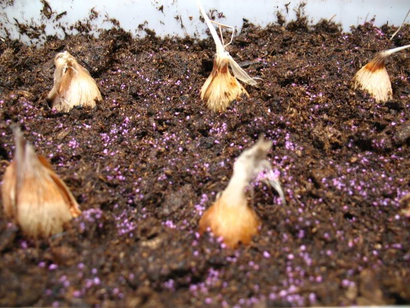 Все о выращивание зеленого лука из семян 361