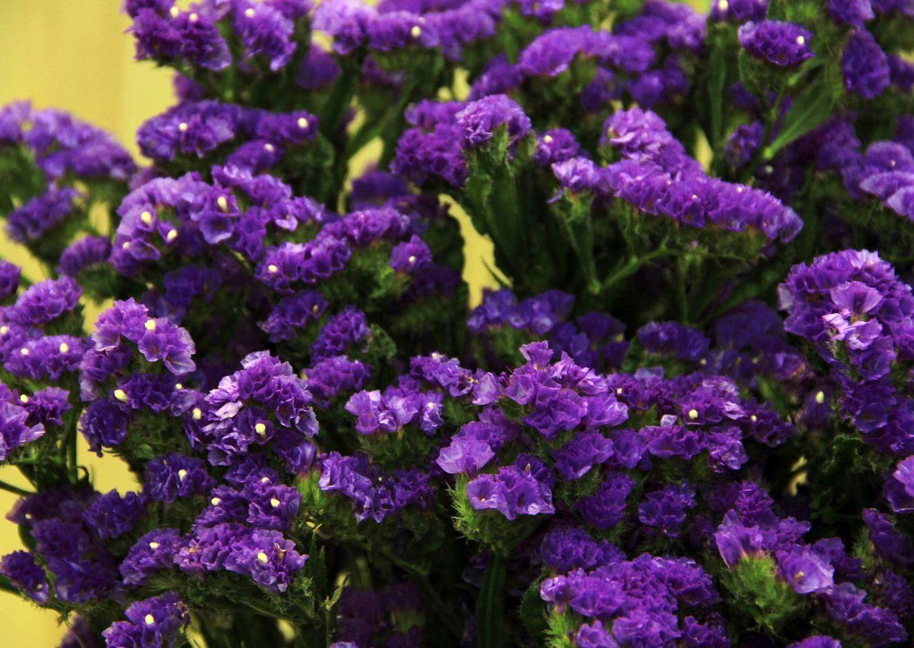 Сухоцветы статица выращивание 21