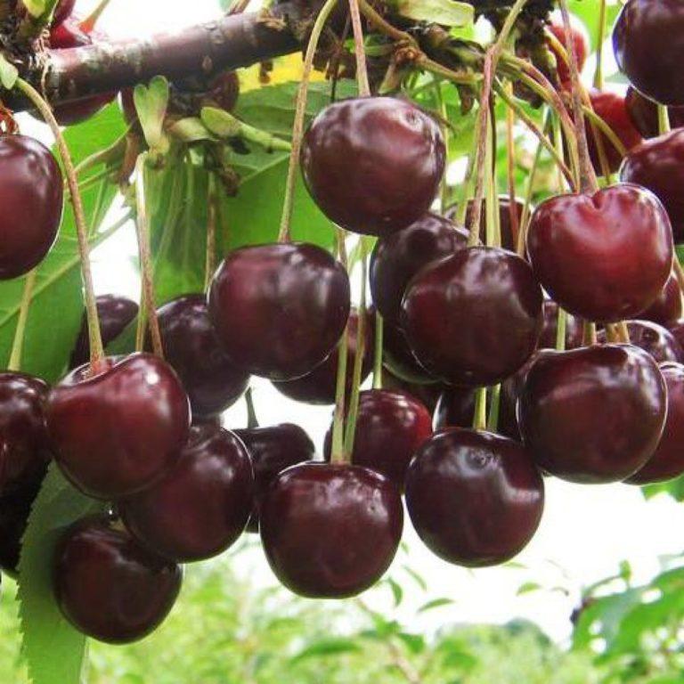 Выращивание черешни в омске 58