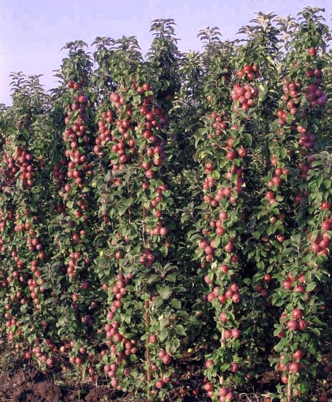 Кто сажал колоновидные яблони 524