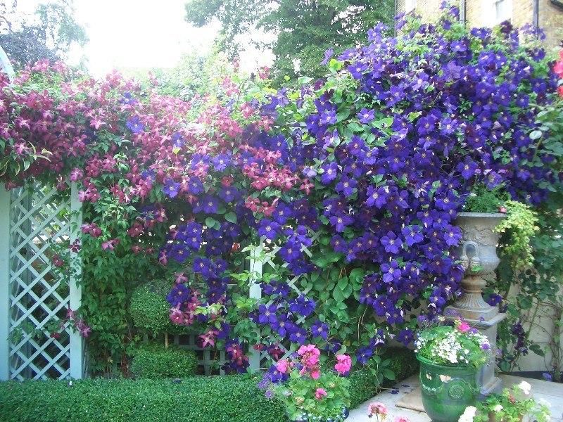Выращивание клематис в саду 153