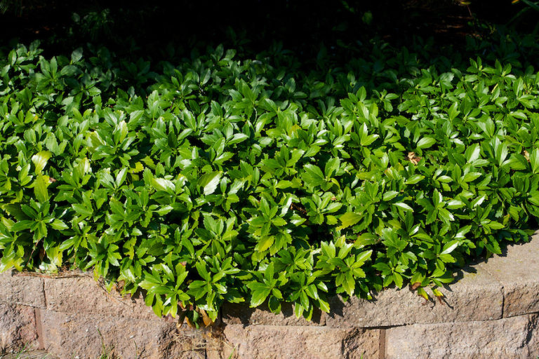 Пахизандра выращивание и уход фото 37