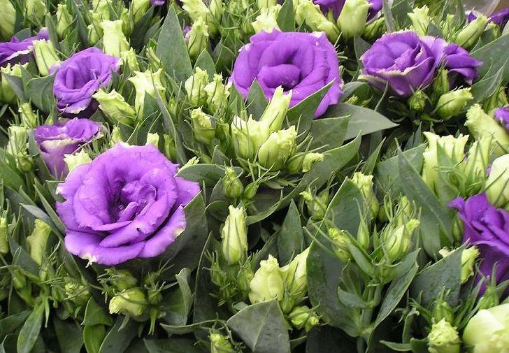 Эустома фото цветов в клумбе