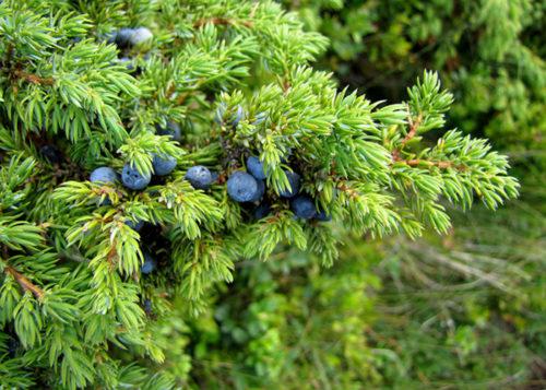 juniperus_sibirica-500x357.jpg