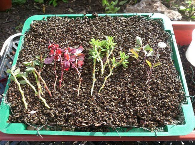 Черенки жимолости - размножение Сайт о саде, даче и комнатных растениях 45