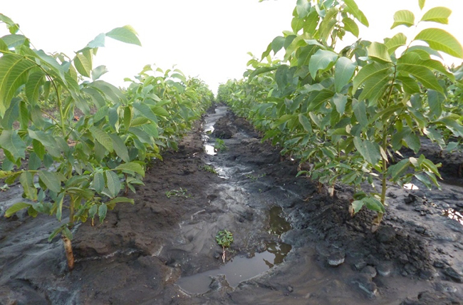 Как правильно посадить грецкий орех саженцем