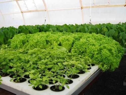 kak-vyrastit-salat-v-zimniy-period