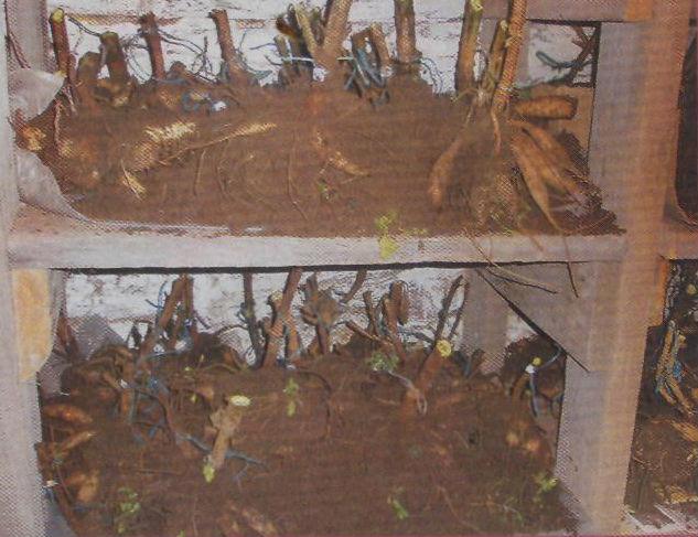 Хранение луковиц георгин зимой в домашних условиях