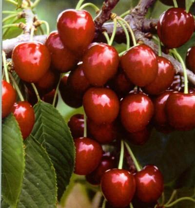 Как вырастить из косточки вишни саженец
