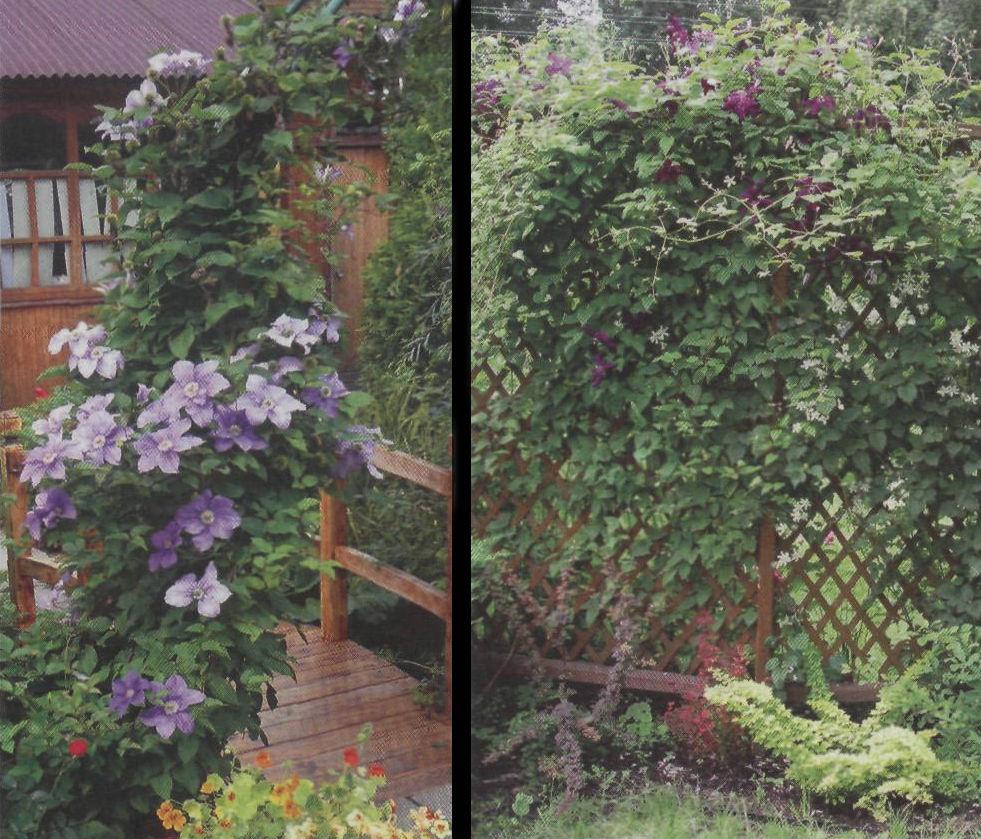 Вьющиеся растения лианы: фото и видео диких лиан. » Дикая граница | 839x981