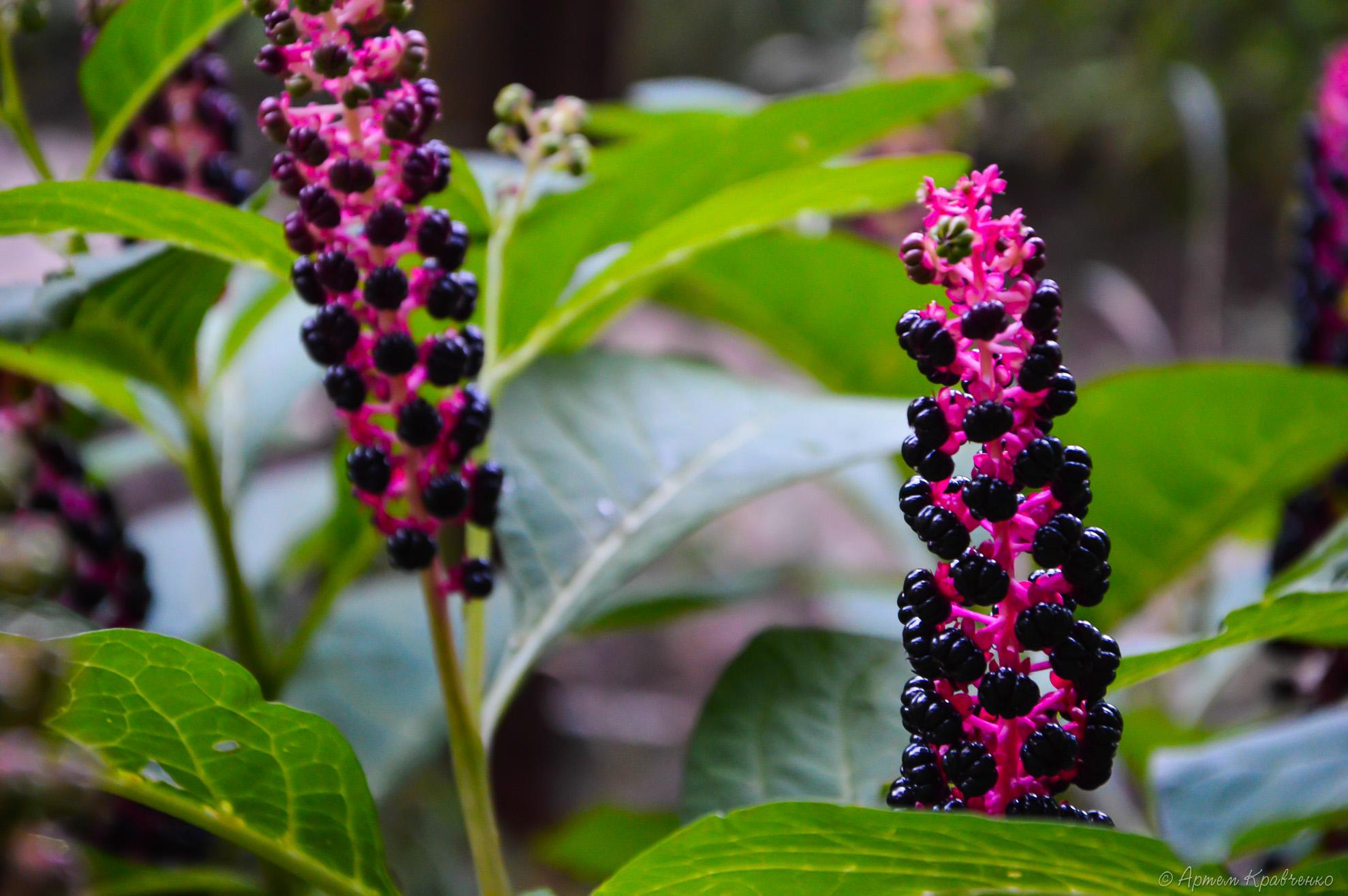 Цветы лаконос посадка и уход фото