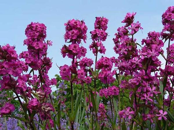 Цветы вискария посадка и уход