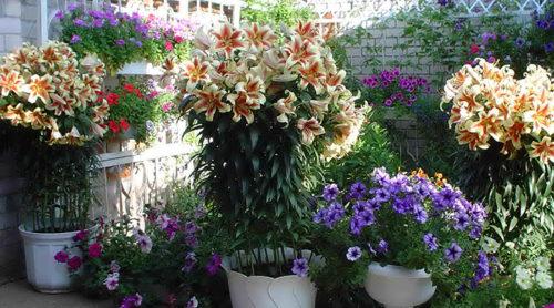 lilii-3-500x278.jpg