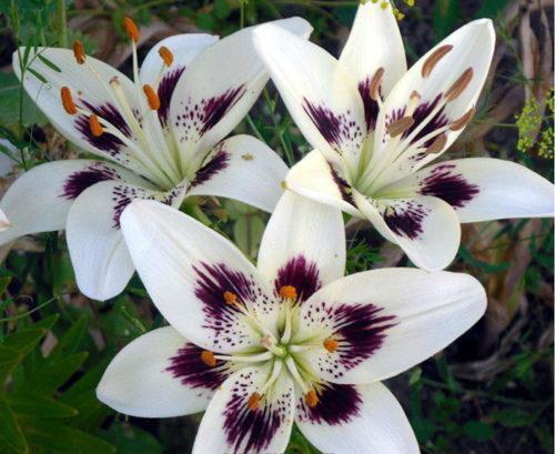 lilii-foto-20-500x409.jpg