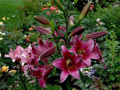 lilii-sadovye-posadka-i-uhod-500x375.jpg