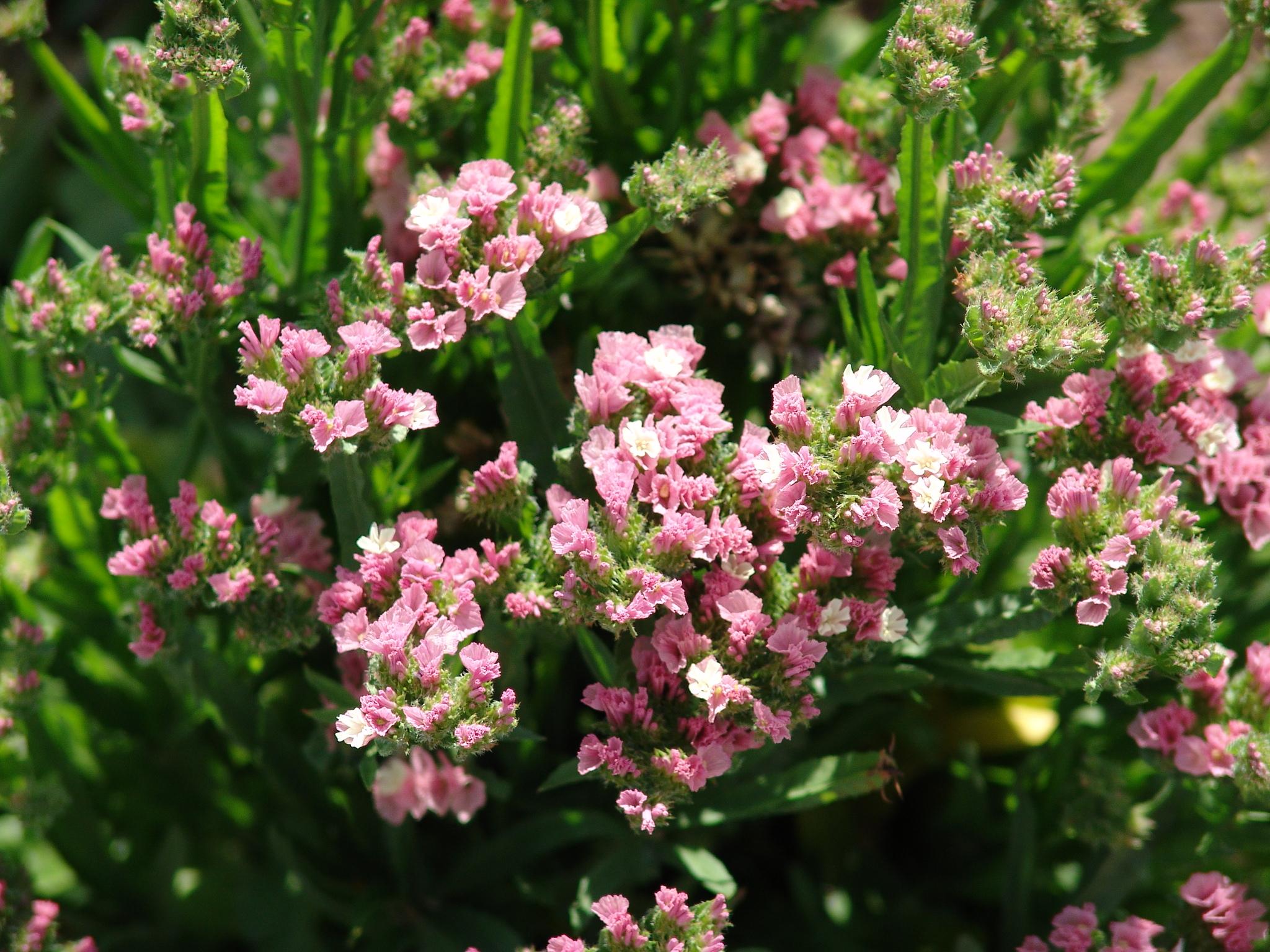 Цветы лимониум выращивание