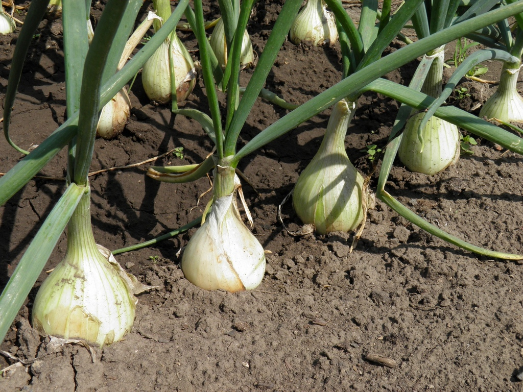 Агротехника выращивания лука на репку из севка 19