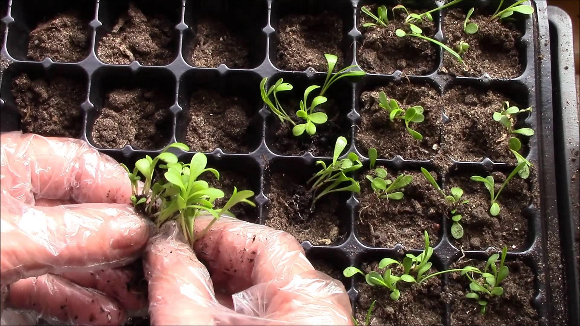 Посев гацании на рассаду: когда сеять и как выращивать рассаду