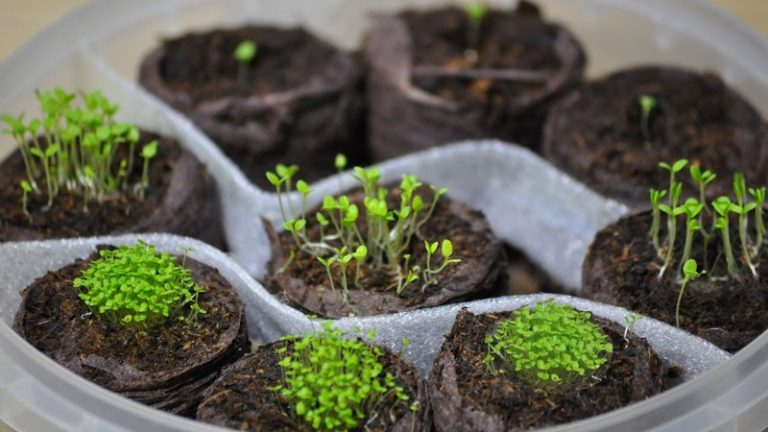 Посев и выращивание петунии