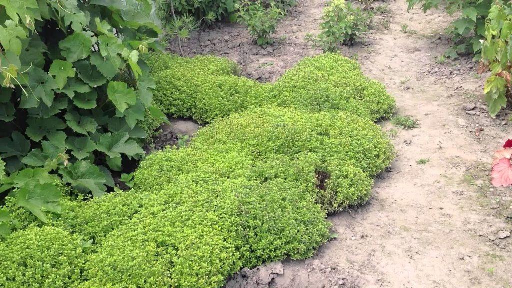 Выращивание тимьяна в открытом грунте 648