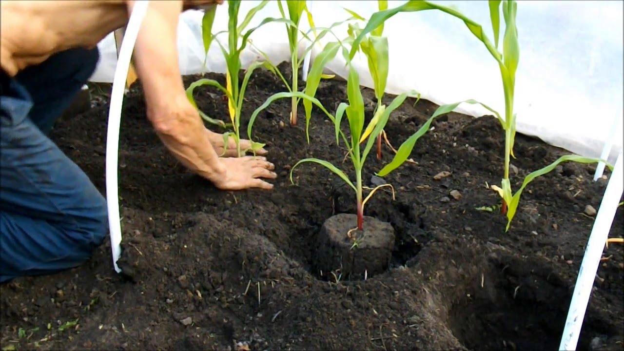 Как посадить рассаду кукурузы 36