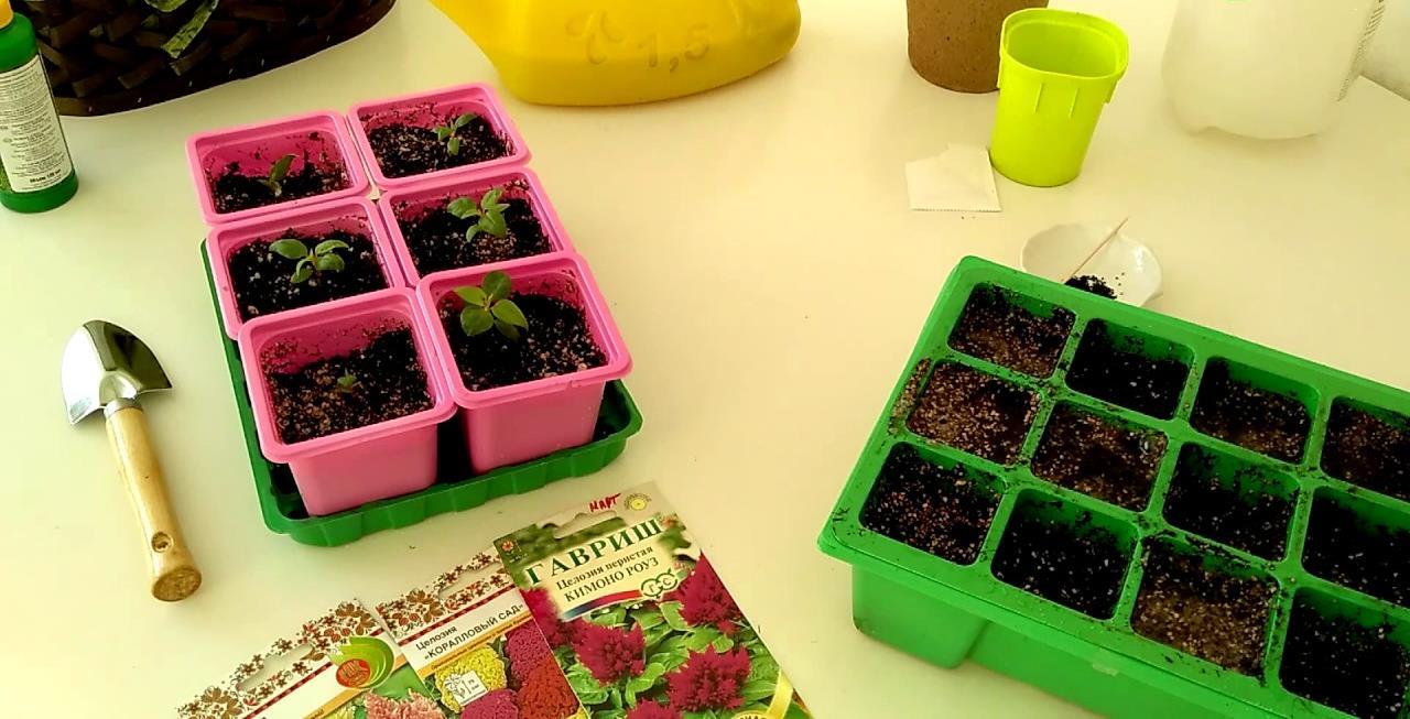 Как сажать целозия в семенах 476