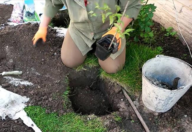 Когда и как посадить клематисы