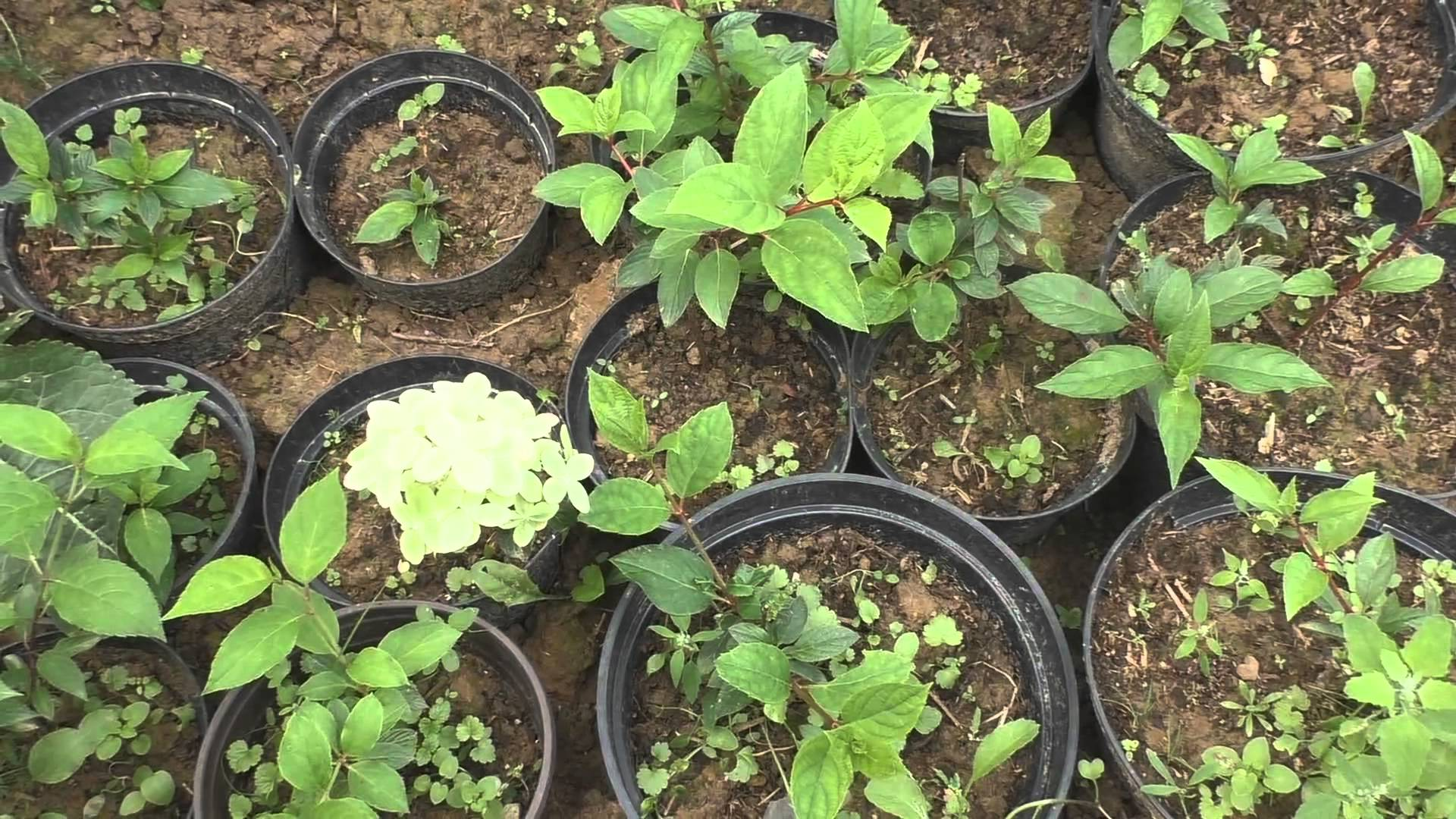 Гортензия из семян: выращивание, как посадить 95